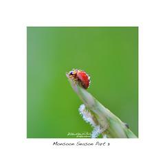  ladybug  (Zawawi Isa) Tags: green nature natural bokeh naturallight national ladybird getty ladybug gettyimages gettyimage nikond90 nikonflickraward