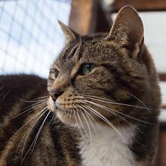 Puddy (Bev Goodwin) Tags: portrait rescue closeup liverpool cat feline chat tabby gato katze gatto inceblundell freshfieldsanimalrescue sonyslta65v