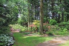 Rhododendron 91 (riccpics) Tags: trees fleurs garden botanical bush jardin arbres bloom botanique arbustre