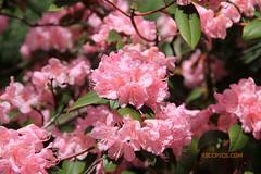 Rhododendron 76 (riccpics) Tags: trees fleurs garden botanical bush jardin arbres bloom botanique arbustre