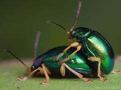 Chrysomelidae (Techuser) Tags: macro verde green animal sex forest bug insect rainforest couple shiny close metallic atlantic inseto mating mata piedade atlantica besouro reversesoligor2835 epl5