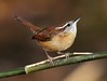 Carolina Wren (AllHarts) Tags: nature carolinawren cordovatn perfectioninpicturessupremeimageslevel2 masterclasselite opticalexcellence thenewperfectioninpictureslevel1 opticalexcellencelevel2 allensbackyardbirds