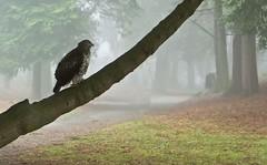 Volunteer Park | Seattle (sunrisesoup) Tags: sony nexc3 handheld sunrisesoup volunteerpark seattle wa usa redtail redtailhawk fog treeredtailed redtailedhawk