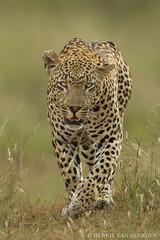 The Airstrip Male - leopard of Mala Mala (hvhe1) Tags: africa wild nature animal walking southafrica wildlife safari leopard stare panther mala stalking gamedrive gamereserve luipaard malamala pantherapardus eyelevel specanimal hvhe1 hennievanheerden specanimalphotooftheday wwshowcase specanimaliconofthemonth