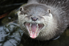 8th February - hungry otter (*superhoop*) Tags: mouth teeth wetlands otters hpad hpad2014 hpad080214