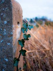 Ivy (wibblefish) Tags: plant green pillar ivy land scrub