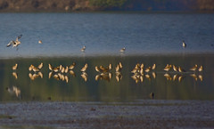 Landing of Common Sandpiper ([s e l v i n]) Tags: india lake reflection bird birds bombay serene mumbai placid sandpipers birdphotography bhandup commonsandpipers selvin bhanduppumpstation
