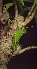 Bicho (Juanraperalta) Tags: macro verde green canon bug insect eos zoom sigma hibiscus hibisco grasshopper orthoptera pacifico rama saltamontes d400
