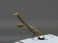 Exactly what is that on the railing? (Gabriel FW Koch) Tags: prayingmantis