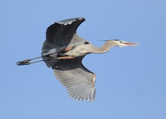 2014-04-05 Almond Marsh 3 (JanetandPhil) Tags: birds nikon nikkor greatblueheron d800 ardeaherodias almondmarsh 600mmf4 lcfpd lakecountyforestpreservedistrict wildwoodil 2014forestpreservesvariouslocations