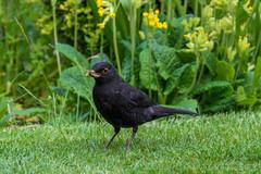 Friendly blackbird with slug (Myrialejean) Tags: black green bird grass garden aves turdusmerula blackbird turdus cowslips passeriformes merula turdidae chordata d7100