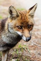 Fox (Matteo Melchior) Tags: park italy parco nature animal animals natural wildlife fox tuscany toscana animali maremma volpe