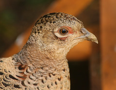 mrs p (Dawn Porter) Tags: bird pheasant somerset