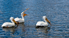 American White Pelican Breeding (Karen Dixon Photography) Tags: birds swimming colorado waterfoul feeding denver breeding mating migratory aquatic bump washingtonpark americanwhitepelican washpark pelecanuserythrorhynchos billhorn whiteplumage