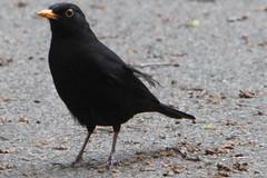 merel (willemsknol) Tags: birds vogels merel willemsknol