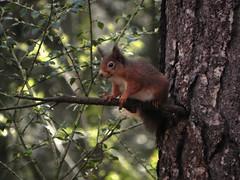 Red Squirrel at Morton Lochs Nature Reserve (milnefaefife) Tags: trees animals scotland squirrel fife wildlife branches birdfeeder peanuts treetrunk naturereserve trunk redsquirrel tayport scotspine tentsmuirforest mortonlochs tentsmuirnationalnaturereserve