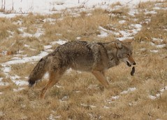coyote with mouse (pjh2000) Tags: coyote illinois wildlife predator