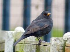 #blackbird (jule_s1) Tags: blackbird
