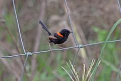 IMG_7198AA (Kool bee) Tags: birds fairywren redbacked oxleycreekcommon
