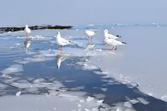 WinterMorning (eikonagashima0526) Tags: morning winter swan seagull sendai