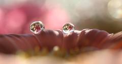 Water drops and umbrellas (jilllian2) Tags: flowers flower macro nature waterdrop bokeh gerbera daisy waterdrops