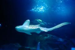 Requin tigre (Mhln) Tags: paris aquarium requin poisson trocadero poissons meduse 2015 cineaqua