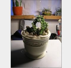 Cactus-Tillandsia-2 (cuirung) Tags: jade gollum haworthia airplant crassula felina faucaria perforata tigerjaw cactustillandsia bulbbolsa