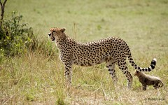 Acinonyx jubatus! (Jambo53 (catching up)) Tags: acinonyxjubatus jachtluipaard cheetah cub mother safari wildlife masaimara kenya eastafrica robertkok jambo53 savannah cat kat natuur nature mammal zoogdier nikind800 predator roofdier ngc veronesi