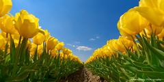 Dazzling Yellow (Johan Konz) Tags: yellow outdoor tulip blue sky flower spring color springtime nature tulipseason field urk netherlands flevoland