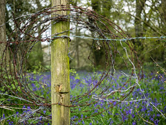 Barbed wire and bluebells (real ramona) Tags: wood england green bluebells fence countryside wire post somerset coil barbed