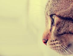 cat profile (Danitza Medina) Tags: pet pets cute animals cat vintage photography kitty cateye