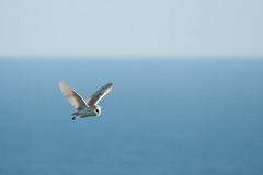 SJ7_7871 (glidergoth) Tags: birds coast yorkshire cliffs breeding barnowl colony seabird tytoalba rspb bemptoncliffs britishbirds