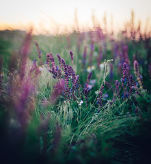 Sofia sunset through the wild nature (Pavel Valchev) Tags: new flowers sunset wild sun flower nature grass canon lens photography town bokeh sony mount mf manual fd wideopen nex ilce a6000 emount
