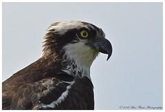 Osprey  (Rodolfo Quinio) Tags: nature wildlife raptor osprey birdofprey howardcounty clarksvillemd nikond500