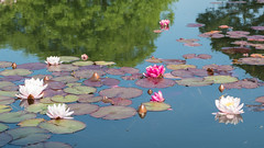 Waterlillies (DBloomfield) Tags: wales unitedkingdom gb waterlillies bodnant talycafn