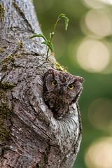 Western Screech Owl (OwlPurist) Tags: tree oregon portland nest cavity mimosa westernscreechowlmegascopskennicottii