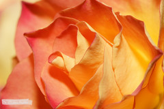 Yellow Rose | Orange-Gelbe Rose (jensfechter) Tags: orange flower rose yellow blossom gelb elements blte
