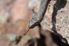 Viperine Snake, Natrix maura (1 of 5 images) (willjatkins) Tags: macro snake snakes natrix sigma105mm viperine couleuvreviperine natrixmaura viperinesnake frenchwildlife macrowildlife reptilesofeurope frenchsnakes nikond7100 wildlifeoffrance frenchreptiles reptilesofprovence snakesofprovence reptilesoffrance snakesoffrance snakesofeurope serpentsdefrance