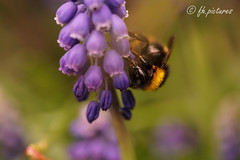 Bumblebee (fh.pictures) Tags: color colorful bokeh sony bumblebee hyacinth a7r