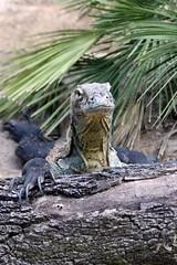 Lowry Park Zoo: komodo dragon (Jasmine'sCamera) Tags: park animal animals tampa zoo dragon lowry komodo komododragon lowryparkzoo