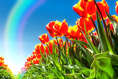 Tulips And The Rainbow (Alfred Grupstra Photography) Tags: colors field rainbow tulips nederland nl noordholland wervershoof