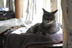 Charlie (Matilda&Charlie&Josie ~ MCJ) Tags: cat charlie 10yo greybluecreamtabby hehasbeenverydehydrated waitingonbloodtestresults