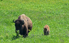 Family (U.S. Fish and Wildlife Service - Midwest Region) Tags: nealsmith nealsmithnationalwildliferefuge iowa ia usfws usfishandwildlifeservice midwest midwestregion bison wildlife prairie bisoncalf youngbison greatplains