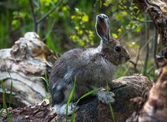 New neighbor (Bill Bowman) Tags: bunny colorado snowshoehare lepusamericanus subalpineforest universityofcoloradomountainresearchstation