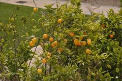 Oranges (Darkhorse Winterwolf) Tags: cruise carnival orange plant tree nature malta vista oranges rabat maidenvoyage irrabat carnivalvista