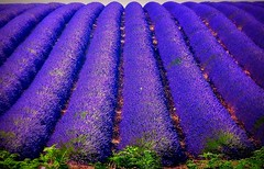 FRANCE - Provence , Lavendelfelder bei Valensole, 75151/6820 (roba66) Tags: travel blue plants france flores color colour tourism nature fleur landscape reisen flora frankreich urlaub natur flor pflanzen lavender paisaje visit colores explore fields provence blau landschaft lavande francia franca voyages camargue bloem lavanda flori valensole camarque coleur naturalezza provenca lavendelfelder roba66 lavederfields