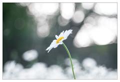 Where daisies meet the sky (leo.roos) Tags: daisies lens prime m42 daisy fl marguerite asteraceae challenge lenses day150 margriet leucanthemum focallength oxeyedaisy primes lenzen dyxum darosa brandpuntsafstand a7s leoroos dayprime dayprime2016 meyertelemegor15055