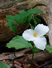Rockwood_2016_10 (rdaniel2) Tags: trillium flower white green forest log nature ontario