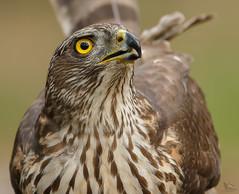 Northern Goshawk  (on Explore). (JurgenMaassen) Tags: hawk goshawk havik habicht northerngoshawk accipitergentilis autourdespalombes canoneos7dmarkii sigma120300f28s