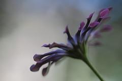 A toutes voiles dployes (CcileAF) Tags: flowers colour macro nature canon garden petals spring purple bokeh dreamy tamron